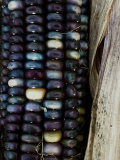 laurajwryan:  Blue Corn, 11/26/2011