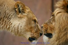 https://flic.kr/p/QSAqfV | Love IS All Around.....Happy Valentine's Day Ya'll..:) | Lions ~ Colchester Zoo ~ Colchester ~ Essex ~ England ~ Monday January 31st 2011.                                        Click here to see My most interesting images  Purchase some of my images here ~ www.saatchionline.com/art/view/artist/24360/art/1259239 ~ Should you so desire...go on, make me rich..lol...Oh...and if you see any of the images in my stream that you would like and are not there, then let me…