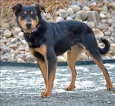 Bilbo is an adoptable Rottweiler Dog in Golden, CO. Hi I'm Bilbo! I'm a little shy at first, but I warm up quickly! I would like to live in a quiet, calm household. I'll be happiest in a home where I . Rottweiler Dog, Household, Calm, Live, Reading, Dogs, Animals, Animaux, Word Reading
