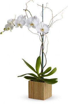 Caring for indoor orchids can be quite difficult and time consuming. They need the perfect sunlight, a good deal of humidity, and the proper plant food. If cared for properly, they can be a beautiful and rewarding plant.