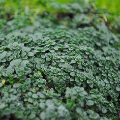 "Thymus /'Coccineus/' Coconut Thyme Plant 3/"" Pot Live Plant"