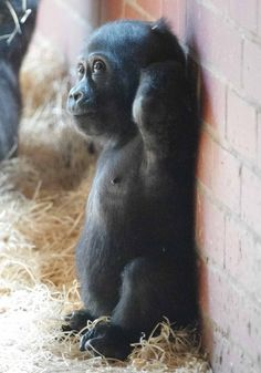 Baby - Western Lowland Gorilla (gorilla gorilla gorilla) is a mammal type animal. It inhabits rainforest and dense jungle. The weight of this animal is about 100kg - 200kg (220lbs - 440lbs) and average life span is 35 - 50 years.