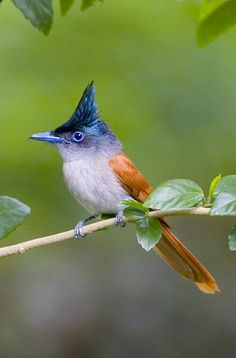 Paradise Flycatcher (female),Terpsiphone, are a genus of monarch flycatchers. The genus ranges across Africa and Asia, as well as a number of islands. The paradise flycatchers have the widest distribution of any of the monarch flycatchers, ranging across sub-Saharan Africa, the Indian Subcontinent, Southeast Asia and East Asia.[1]