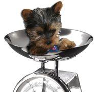 52 Best Yorkie Breeders Images Yorkie Breeders Yorkie Yorkies