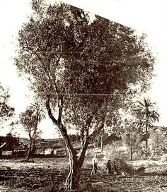 The first olive trees in the San Fernando Valley, and much of the original olive stock that made Sylmar world famous, are likely descendants of this precious old tree. This photograph, taken in 1939 and sent to the California artist, Orpha Klinker, shows what remained of the great orchards of the Mission San Diego Alcala. Cuttings of this venerable tree produced what is still called the Mission Type olive.