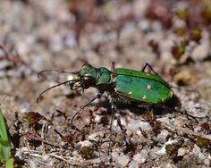 Green tiger beetle ~ explored | Flickr - Photo Sharing!