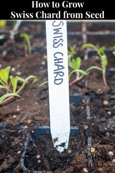 Use these gardening tips on how to grow Swiss chard from seed to either start your seeds indoors before the last frost or directly sow them in your garden after the last frost.