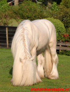 What a mane! Wish we could see the pretty blue eyes, typical of a cremello, that are hiding behind that hair