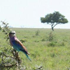 Lilac Breasted Roller!   Follow our African Safari on Facebook for you chance to win free binoculars or free sunglasss!