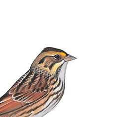 Savannah Sparrow. Painted and © by David Sibley