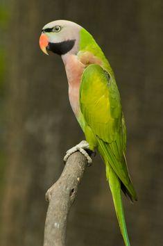 The glorious Moustache Parakeet Parrot.