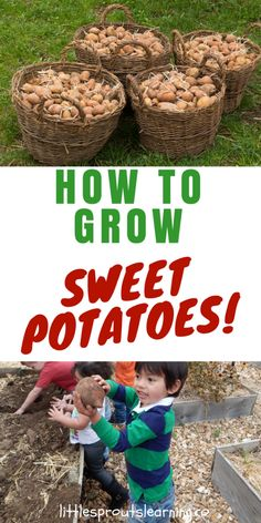 Growing sweet potatoes is one of the easiest things to do. It's so exciting for me and the kids to grow things under the ground. The amazement when you pull that thing up and see there was so much going on that couldn't be seen is priceless. Learn to grow sweet potatoes at home!