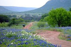 Dirt Lane in the Texas Hill Country with lovely blue bonnets