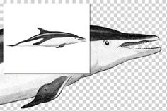 Whales: 1151 Dusky Dolphin By Enliven Designs