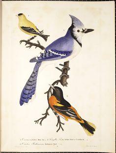 "Alexander Wilson ""American Ornithology"" 1808-1814"