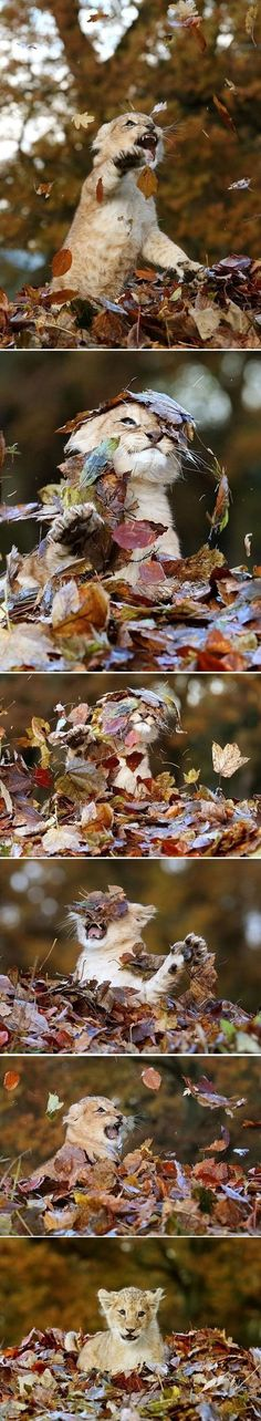 Baby Lion Playing With Leaves = one of the cutest things ever!!!!