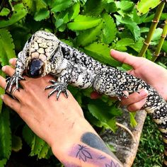 🔥Click the image to see more. We have some great animals available, don't miss out before we put them to brumate! Tegu Lizard, Big Iguana, Lizard Species, Human Babies, Art Watch, Reptiles And Amphibians, Albino, Exotic Pets, Beauty Photography