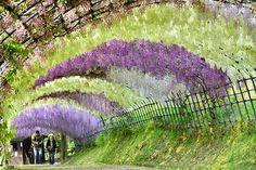 Wisteria flowers of Japan. Travel dreams