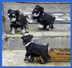 What is more darling that a bunch of mini schnauzer Puppies!!!!
