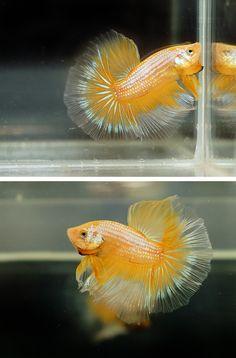 Yellow dragon halfmoon betta fish