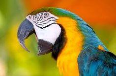 Risultati immagini per pappagallo