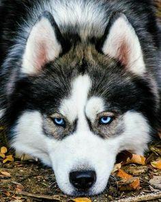 Wonderful All About The Siberian Husky Ideas. Prodigious All About The Siberian Husky Ideas. Beautiful Dogs, Animals Beautiful, Cute Animals, Siberian Husky Dog, Husky Puppy, Little Husky, Snow Dogs, Alaskan Malamute, Alaskan Husky