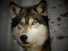 Precious Wolf