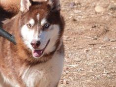 Perro Grande Macho, Husky; es un perro con carácter dominante.Necesita a alguien que le sepa llevar y entienda de Nórdicos. Es un perro fantástico.  ...