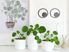 Auf der Mammilade n-Seite des Lebens   Personal Lifestyle Blog   Pilea Peperomioides   Ufopflanze   Bauchnabelpflanze   Kanonierpflanze   Pflanzen Styling   Tipps Pflege und Vermehrung   Pflegetipps   Ableger   Setzling