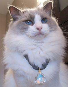 The beauty Neytiri, #ragdoll #ragdollcat #cats