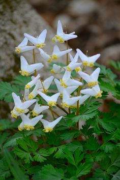 Dutchmen S Breeches Rare Flowers Unusual Flowers Flower Garden