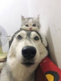 Awhhhhh that husky is so proud of that little kitty