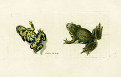 Shaw & Nodder Antique Reptile Prints 1795