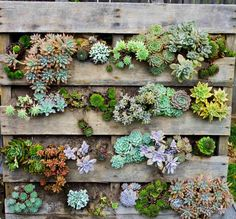 From veggies and herbs, to annuals to succulents, these pallet garden ideas are clever and beautiful! Here are 10 pallet garden ideas for you to create! Garden Planters, Planting Succulents, Succulent Plants, Pallet Planters, Succulent Wreath, Planter Ideas, Container Garden, Planter Pots, Pallet Fence