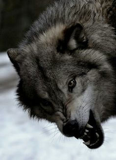 Wolf Images, Wolf Photos, Wolf Pictures, Wolf Spirit, Spirit Animal, Beautiful Wolves, Animals Beautiful, Canis, Animals And Pets
