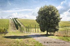 Tuscany, Italy, Chianti, vineyards, grape harvest, Tuscany Fine Art, Travel Photo, Italy Art Print, Tuscany Wall Decor, Italy wall Decor di Molo7Photography su Etsy