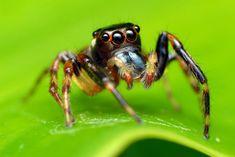 Shopping Bag. Jumping spider on leaf