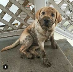 yellow lab puppy with a muddy nose
