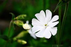 Blooming White Wildflower by MissDawnM