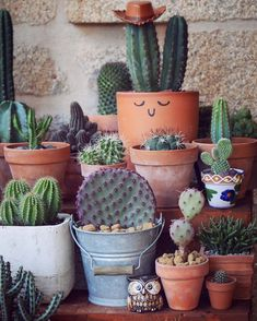 ⭐️S h e r i f f ⭐️ •• como casi somos K en instagram,despertamos al sheriff con dos nuevas integrantes en la colección.dos opuntias santa Rita bellísimasomm #sheriffmotherofcrasas #gardening #garden #urbangarden #green #cactus #succulents #flores #naturelovers #plantas #plants #mygarden #botanical #flora #floral #suculentas #flowermagic #flowerporn #leafandclay #succulove #tillthesill #love #cacti #succulent #succulentsofinstagram #succulentlove #bloom #balcony #succulentobsession
