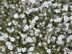 gypsophila - Google Search