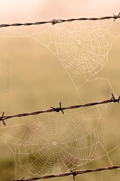Stark contrast of rigid barbed wire fence and teflon strength of rambling anachrids.