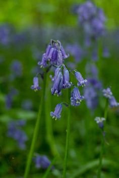Bluebells at Hallerbos | egg & dart blog