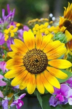 Mix of Old-Fashioned Garden Favorites: Sunflower, Pink Sweet Peas, Yellow Achillea (Yarrow), and Purple Lythrum (Loosestrife). Happy Flowers, Flowers Nature, Pretty Flowers, Sun Flowers, Summer Flowers, Colorful Flowers, Wedding Flowers, Sunflower Flower, My Flower