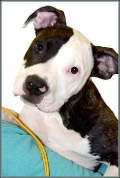 Meet Jimbo, a Petfinder adoptable Pit Bull Terrier Dog | Frederick, MD | Meet Jimbo. This stunning puppy has a sterling future ahead, with his good looks and great...