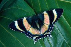 Alcides metaurus is a moth of the Uraniidae family. It is known from the tropical north of Queensland, Australia.
