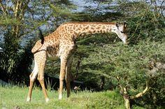 Giraffen werden gewildert, weil Menschen glauben, dass das Rückenmark Aids heilt. Bald könnten die stolzen Tiere ausgerottet sein!