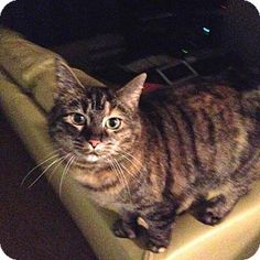 HILLSBORO, OR - Domestic Shorthair. Meet Kat *Offered by Owner* Polydactyl, a cat for adoption. http://www.adoptapet.com/pet/12486360-hillsboro-oregon-cat