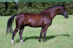 Lipizzan - gelding Siglavy Capriola XVIII-26