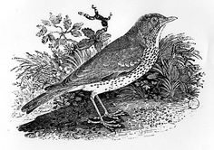 Thomas Bewick english engraver and naturalist